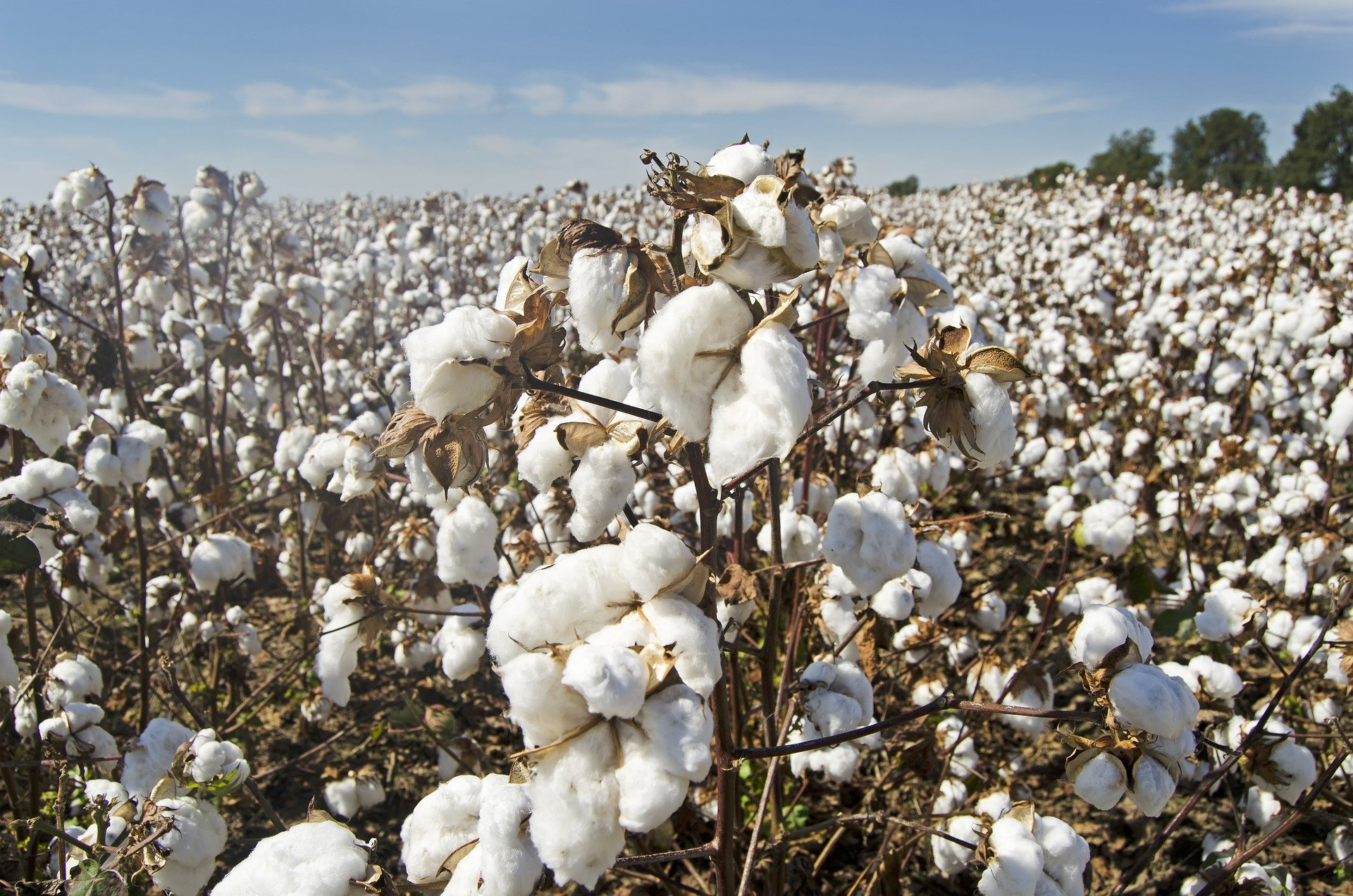cotton-4649804_1920.jpg